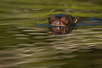 Giant River Otter (Pteronura brasiliensis) in Anangu creek in Yasuni National Park, Orellana Province, Ecuador