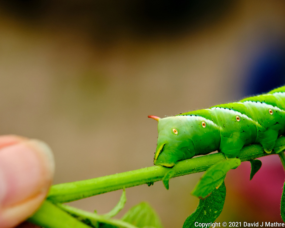 Tomato Hornworm Caterpillar feeding on a Potato Plant. Image taken with a Fuji X-H1 camera and 80 mm f/2.8 OIS macro lens.