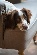 A cute Springer Spaniel dog pensive and tired sitting on favourite armchair at home