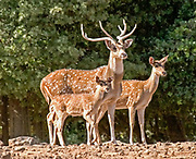 Axis deer (Axis axis), also called the chital or the spotted deer, native to India, Nepal, Sikkim, and Sri Lanka.