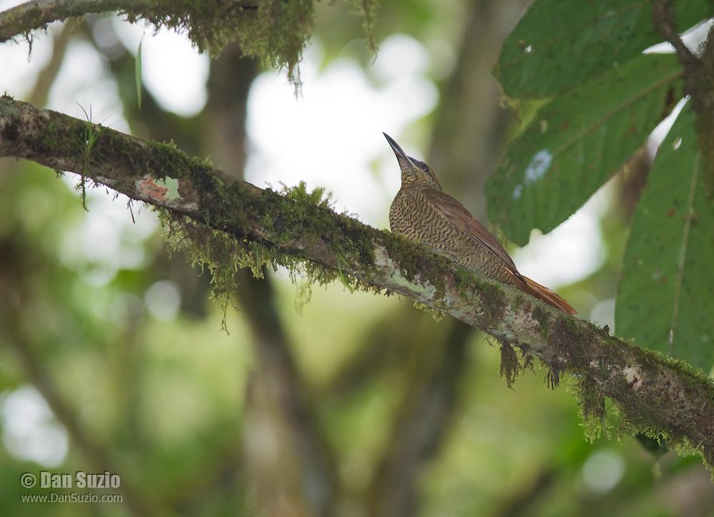 Northern barred woodcreeper, Dendrocolaptes sanctithomae. San Jorge de Milpe Eco-Lodge, Mindo, Ecuador