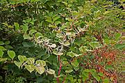 Bush, leaves and flowerheads of japanese knotweed, Devon, U.K.