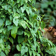 Pig-tailed Macaque, (Macaca nemestrina) In rain forest. Malaysia.