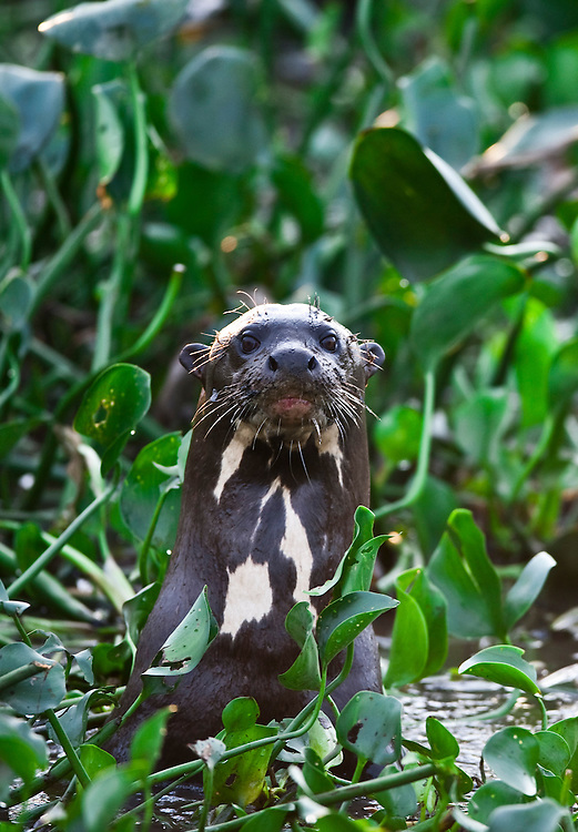 Pocone_MT, Brasil...Ariranha (Pteronura brasiliensis) no Patanal em Pocone no Mato Grosso...A giant otter (Pteronura brasiliensis) in Pantanal in Pocone, Mato Grosso...Foto: JOAO MARCOS ROSA  /NITRO..