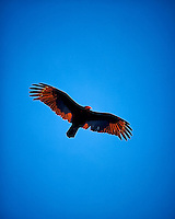 Turkey vulture soaring in the late afternoon sun. Winter nature in New Jersey. Image taken with a Nikon Df camera and 70-200 mm f/2.8 lens (ISO 400, 200 mm, f/2.8, 1/640 sec).