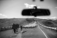 An Armenian shepherd leads a flock of sheep down a two-lane highway west of the town of Goris. Behind the sheep are a herd of cows and waiting vehicle traffic. Photo taken from inside a car.