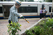 Shelagh Molloy, a local resident to Brondesbury Park Stations puts in a few hours of work in the newly finished Energy Garden, watering and weeding 28th July 2016, London, United Kingdom.The water is collected rain water and the pump is solar panel powered. Energy Gardens is a pan-London community garden project where reclaimed land alongside over ground train stations and track are cultivated by local community groups. Up 50 gardens are projected with the rail network being the connection grid. The project is a collaboration between Repowering London, Groundwork, local community groups, station managers working for Transport For London and Network Rail.