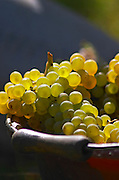Hand picked grapes, chenin blanc. Chateau de Passavant, Anjou, Loire, France