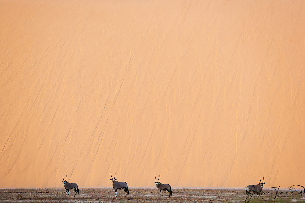 Gemsbok (Oryx gazella) stand in front of a sand dune in morning light along the northern Skeleton Coast of Namibia, Namibia