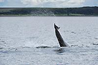 Bottle-nosed Dolphin breaching,<br /> Tursiops truncatus,<br /> Moray Firth, Nr Inverness, Scotland - June