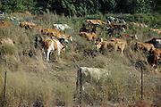 Israel, Free roaming cows grazing in a field