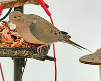 Mourning Dove (Zenaida macroura). Image taken with a Fuji X-T3 camera and 200 mm f/2 OIS lens with a 1.4x teleconverter.