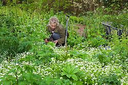 Carol Klein planting Ranunculus aconitifolius amongst Galium odoratum - Sweet woodruff