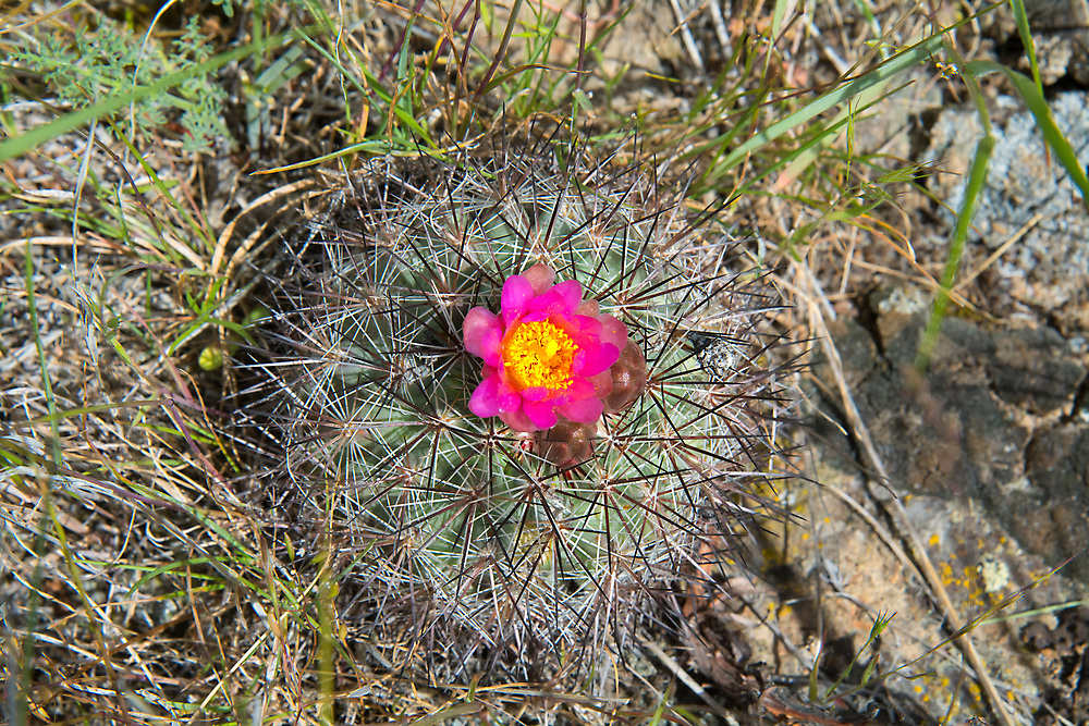 The snowball cactus - also known as the mountains ball cactus or Simpson's hedgehog cactus - is very similar to many of the hedgehog cacti of the American Southwest, except this species is found natively only in the arid sagebrush deserts of Oregon and Washington. Sometimes found growing singly or in pairs, they can also form massive clumps of plants and are unfortunately becoming rare in their native habitat due to plant poaching by collectors, which is unfortunate as they don't take to replanting well. This photo was taken just to the west of Vantage, WA in the rural hills near Whiskey Dick Mountain.