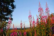 France, Languedoc Roussillon, Lozère(48), Cevennes, Cabrillac,  fleurs de Epilobe en épi, N.L.: Epilobium angustifolium, (Onagracées)