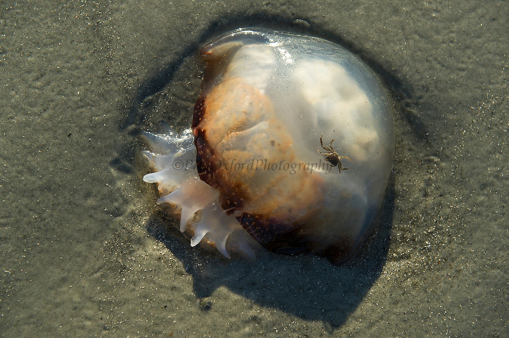 Cannonball Jellyfish (Stomolophus meleagris) & Crab<br /> Little St Simon's Island, Barrier Islands, Georgia<br /> USA<br /> HABITAT & RANGE: Warm estuarian waters of Pacific and Atlantic Oceans. Most commonly on se coast of USA