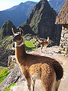 Two llamas at a guard house overlooking the Citadel at Machu Picchu