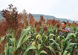 ZAOZHUANG, Sept. 7, 2016 (Xinhua) -- A farmer harvests sorghum in Wangzhuang Village of Zaozhuang, east China's Shandong Province, Sept. 7, 2016. Farmers are busy as autumn harvest season begins. (Xinhua/Li Zongxian) (wyl) (Credit Image: © Li Zongxian/Xinhua via ZUMA Wire)