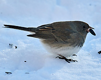 Dark-eyed Junco (Junco hyemalis). Image taken with a Nikon D5 camera and 600 mm f/4 VR lens.