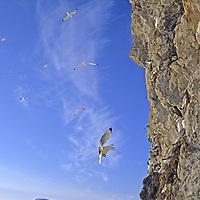 SPITSBERGEN ISLAND, Norway. Black-legged Kittiwake gulls (Rissa tridactyla tridactyla)  land at cliff rookery by King's Fjord, near Ny Alesund, north of the Arctic Circle in the polar archipeligo of Svalbard.