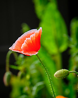 Poppy. Image taken with a Fuji X-T2 camera and 100-400 mm OIS lens.