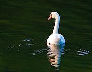 Swan - Cold Spring Harbor