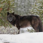 Gray wolf (Canis lupus), Yellowstone National Park, Wyoming