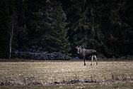 JÄMTLAND 200518<br /> Älgtjur fotograferad under dagens naturtur vid Målsta, Östersund.<br /> Foto: Per Danielsson/Projekt.P