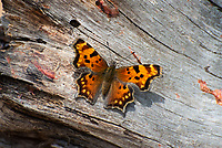 This absolutely stunning hoary comma butterfly was chased down and photographed in Wyoming's Yellowstone National Park on a hot summer day. Common throughout most of Canada, this member of the brushfoot family of butterflies can also be found in most of the western United States at high altitudes where it searches for wild currant flowers.