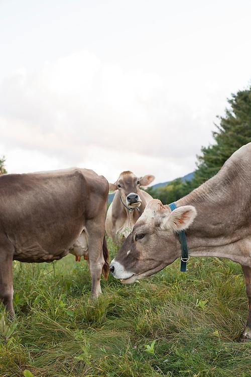 Brown Swiss cows grazing