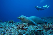 scuba diver and Hawaiian monk seal ( Neomonachus schauinslandi - a critically endangered species endemic to the Hawaiian archipelago ), Lehua Rock, near Niihau, off Kauai, Hawaiian Islands ( Central Pacific Ocean ) MR 387