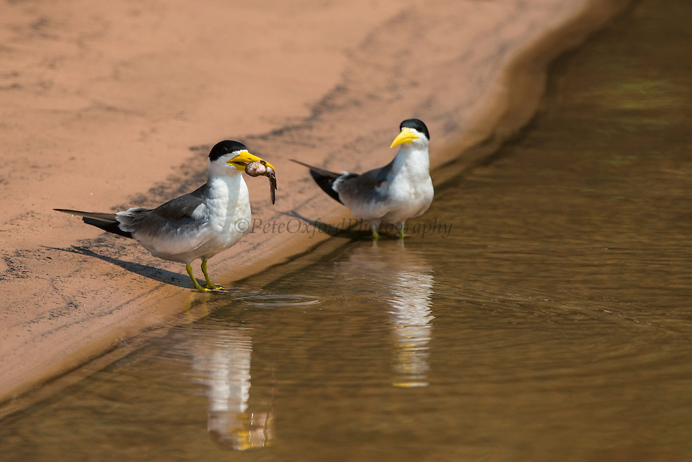 Large-billed Tern (Phaetusa simplex)<br /> Northern Pantanal<br /> Mato Grosso<br /> Brazil