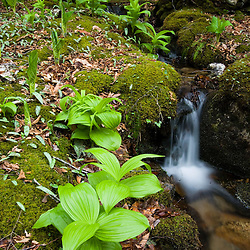 False Hellebore on a stream bank in East Haddam Connecticut USA