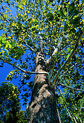 Looking up through Sycamore Tree - Mississippi