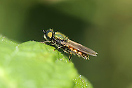 soldier fly<br />