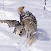 Gray Wolf, (Canis lupus) Pair running through snow. Winter. Rocky mountains. Montana.  Captive Animal.