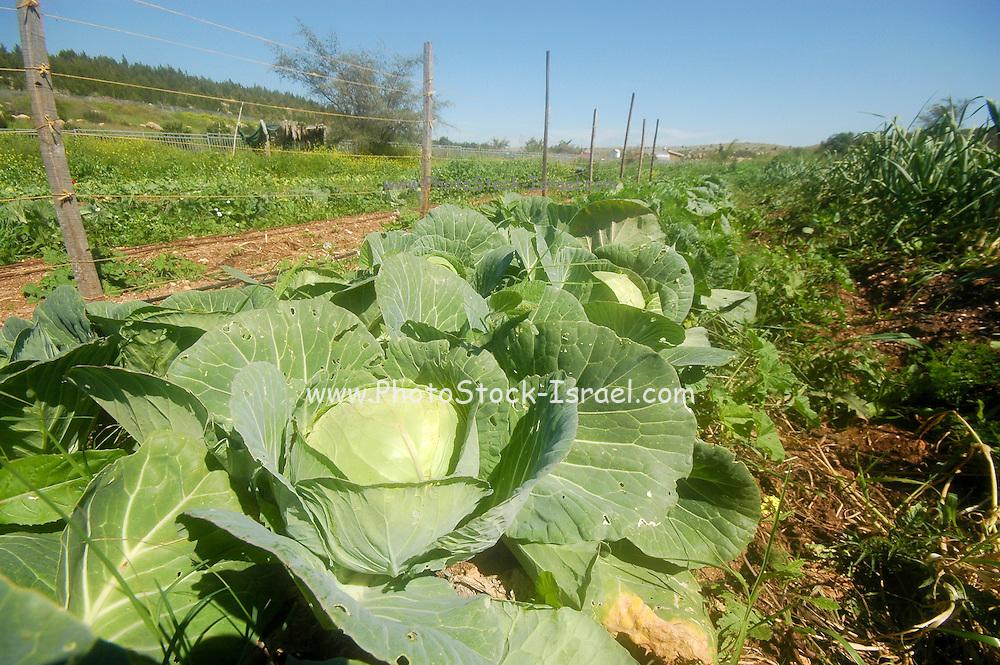 Israel, Ecological farm, organic white cabbage
