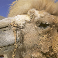 A Bactrian Camel in the Pamir Mountains of Xinjiang, China, has a peg through its nose for a lead rope.
