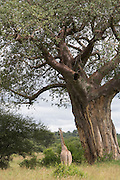Giraffe under a baobab tree, at Tarangire National Park, United Republic of Tanzania, Tarangire Park is located about 120km from Arusha, south east of Manyara.