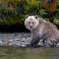 Grizzly bear cub sitting on the shore of the Chilko River in British Columbia, Canada.