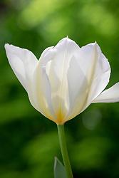 Tulipa 'Purissima' syn. 'White Emperor'