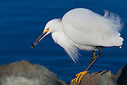 Snowy Egret on the shores of Lake Murray with a catch.