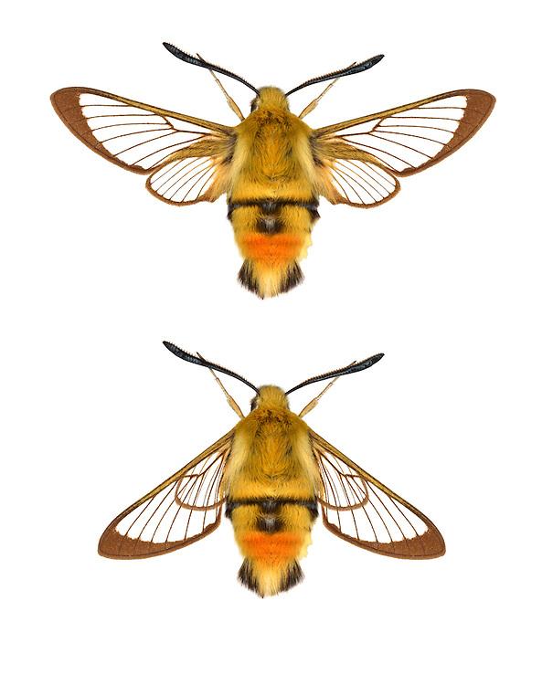 Narrow-bordered Bee Hawk-moth - Hemaris tityus<br /> 69.008 (1982)