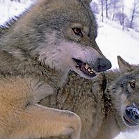 WOLVES. Crai & Priana, captive wolves growl in pan near Zarnesti, in Romania's Transylvanian Alps (Carpathian Mountains), studied  by Carpathian Large Carnivore Project.