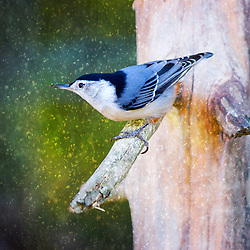A Nuthatch tries to stay warm while perched in a bare winter tree during a snow storm