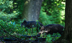 THEMENBILD - Wildschweine, lateinisch (Sus scrofa) sind Paarhufer und gehören zur Familie der Echten Schweine. In Jägersprache gehören sie zum Schwarzwild. Aufgenommen am 28.09.2014 in Wien, Österreich // wild boar, Vienna, Austria on 2014/09/28. EXPA Pictures © 2014, PhotoCredit: EXPA/ Michael Gruber