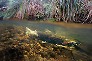 A female coho salmon (Oncorhynchus kisutch) gaurds her redd in Thompson Creek, along the Oregon Coast. Her tail is white from the constant fanning of her eggs to promote oxygen flow. She will die about two weeks after spawning.