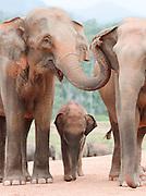 Adult and young elephant at Pinnawela Elephant Orphanage, Kegalle, Sri Lanka