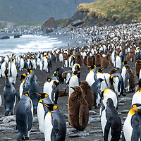 King penguins in a massive breeding colony at Gold Harbour on South Georgia Island. Chicks are covered in brown downy feathers until they molt into their adult plumage.