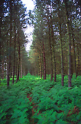 Bracken and rows of coniferous trees in forestry plantation at Rendlesham Forest, Suffolk, England, UK